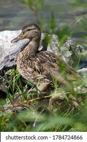 Female Mallard Duck by the Water