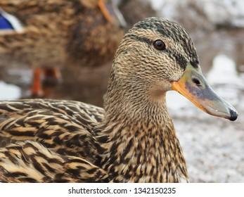 Female mallard duck close up