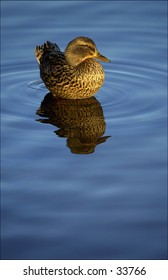 Female Mallard duck (drake) standing in water with ripples