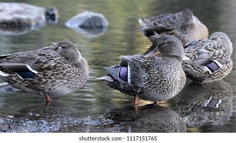 Female Mallard Duck Hens by the Lake in Oregon