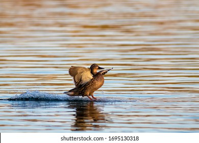 Female mallard duck landing on water