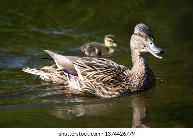 Female mallard duck mother with its last little fledgling swimming on a lake in the park