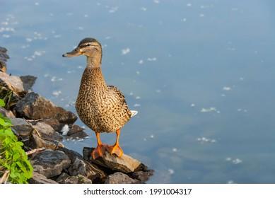 Female mallard duck on the river bank at sundown