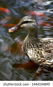 Female mallard duck quacking and swimming in cool water fish pond. Face to face close up with swirling rippling water background. Happy waterfowl glide floating on the water in waterproof down feather