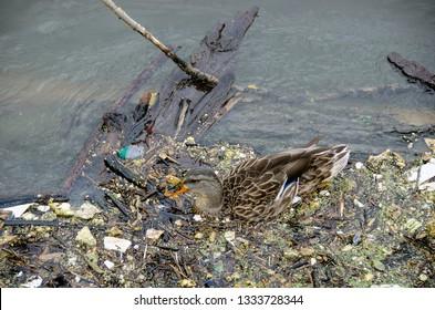female mallard duck in river water with debris