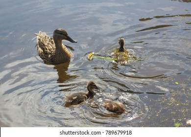 Female mallard duck and its three ducklings swimming on a river in Brittany during spring