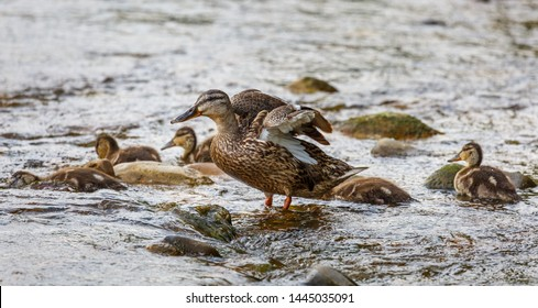 Female of Mallard with her young. Anas platyrhynchos.