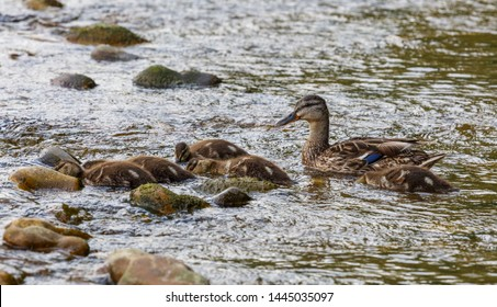 Female of Mallard with her young feeding on the river. Anas platyrhynchos.