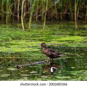 Female Mallard on stick in lake