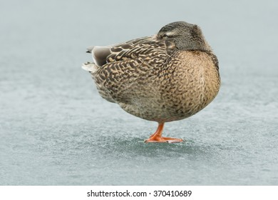 Female Mallard standing on the ice with her bill tucked inside her wing..