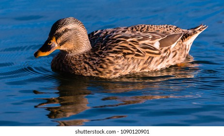 A female mallard sunbathing and swimming on a lake