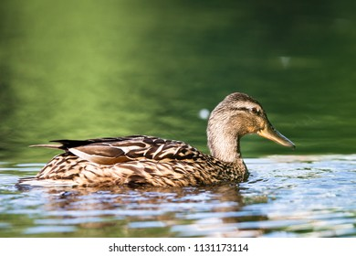 Female mallard swimming in lake
