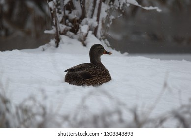 Female Mallard Winter Season