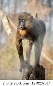 Female mandrill primate looking right for her male facing the sunlight