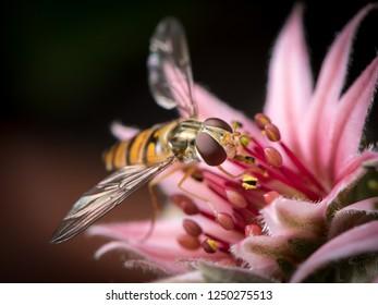 A female marmalade hoverfly (Episyrphus balteatus) sitting on a houseleek flower (Sempervivum)