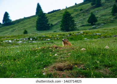 female marmot among the wildflowers in the Manderiolo Mountain in Asiago