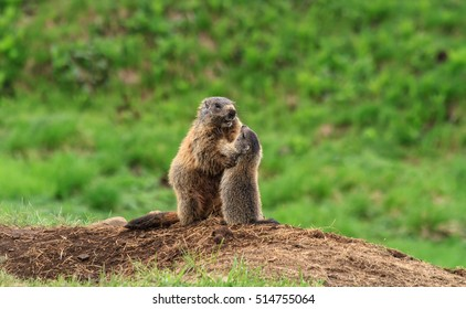 Female marmot with young on alpine meadow