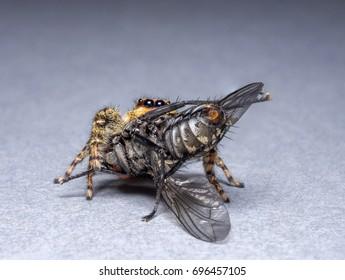A female Marpissa muscosa jumping spider feeding on a housefly (Musca domestica)