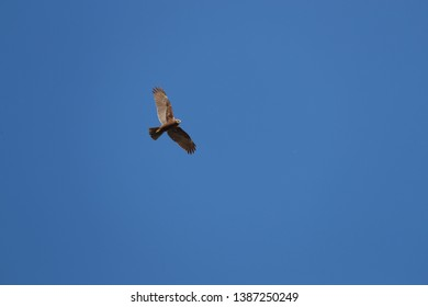 female marsh harrier Latin circus aeruginosus in flight soaring above a field in Italy in springtime by Ruth Swan