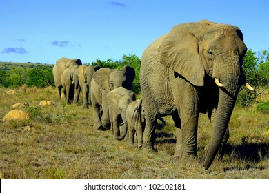A female matriarch elephant mother leads her herd including all the small baby calves to a favorite watering hole in Pumba private game reserve,eastern cape,south africa