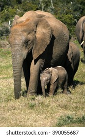 A female matriarch elephant mother leads her herd including all the small baby calves to a favorite watering hole,eastern cape,south africa
