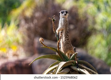 Female Meerkat on sentry duty, on lookout for predators. This small African desert carnivore is standing tall on a Fynbos Aloe. Dark patches around the eyes helps to reduce the sun's glare. Mongoose.