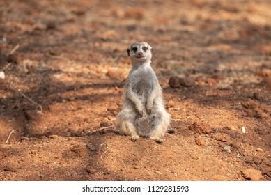 A female meerkat or suricate, Suricata suricatta, a small mammal belonging to the mongoose family