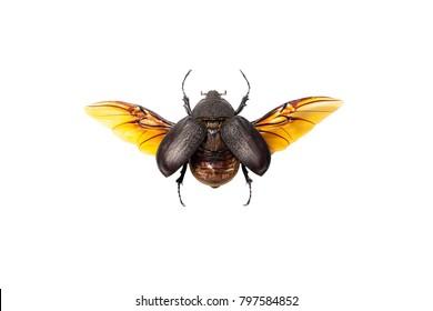 A female Megaoma actaeon beetle isolated on white background