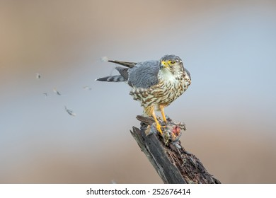 A female Merlin with its fresh catch at Coyote Hills Regional Park of Fremont, California.