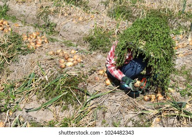 Female migrant worker picking up onions by hands in field in sunny day. Her protects strong  sunlight by cloths hat and grasses over it.