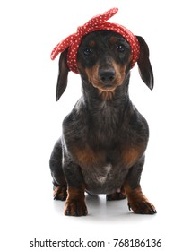 female miniature dachshund wearing red headband looking at viewer