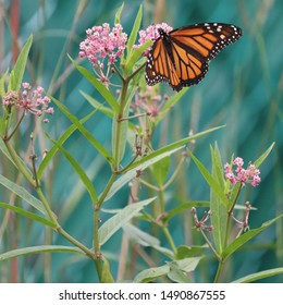 Female monarch butterfly (Danaus plexippus) sipping nectar on pink blossoms of swamp milkweed (Asclepias incarnata) in northern New Jersey garden summer August 2019