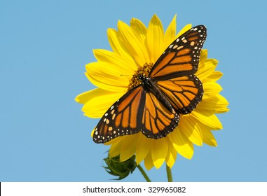 Female Monarch butterfly feeding on a bright yellow wild sunflower, against blue sky