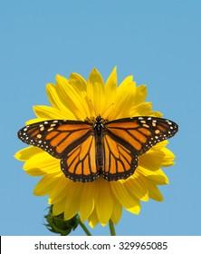 Female Monarch butterfly feeding on a wild sunflower against clear blue sky