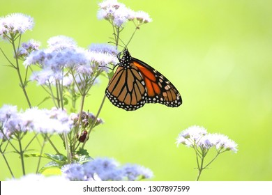 Female Monarch Butterfly Visiting Blue Mist Flower (Native Plant) Photo