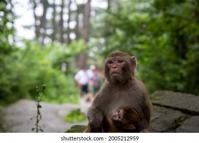 A female monkey carrying a baby monkey