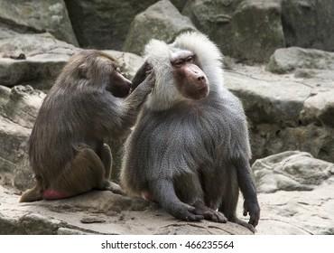 Female monkey grooms her mate