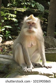 Female monkey sits in the sun in the Monkey Forest in Ubud, Bali, Indonesia