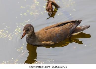 Female Moorhen on small pond