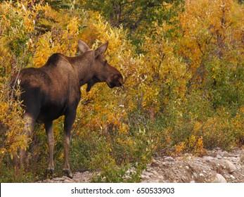 Female moose in Denali National Park, Alaska
