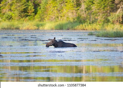 A female moose eating leaves of water lilies in a marsh in Algonquin Provincial Park.