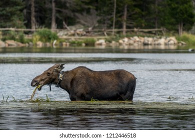 A female moose slurping down weeds from Sprague Lake in Rocky Mountain National Park.
