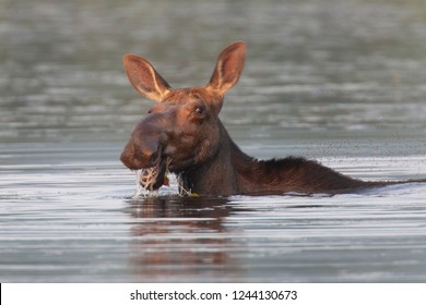 Female Moose swimming in Maine pond