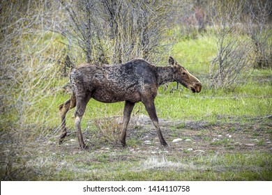 A female moose walks in the Gros Ventre area near Moose, Wyoming in the Grand Tetons area.