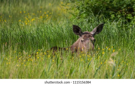 Female Moose wildlife