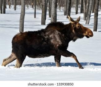Female Moose in winter