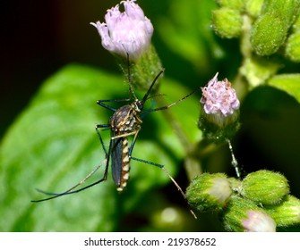 female mosquito