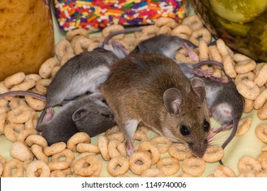 A female mother brown house mouse dragging around her offspring that are trying to nurse. The mice are in a messy kitchen cabinet covered in loose cereal with jars of candy and pickles in the backgrou