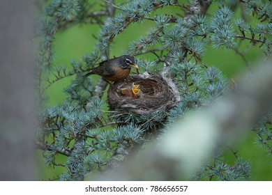 A female mother robin lays on her eggs and feeds her newborn babies