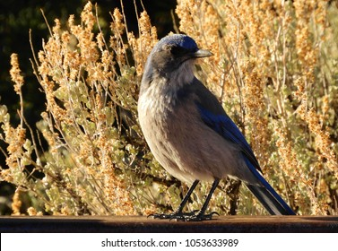 female mountain bluebird perched on a fence in natural bridges national monument near blanding, utah